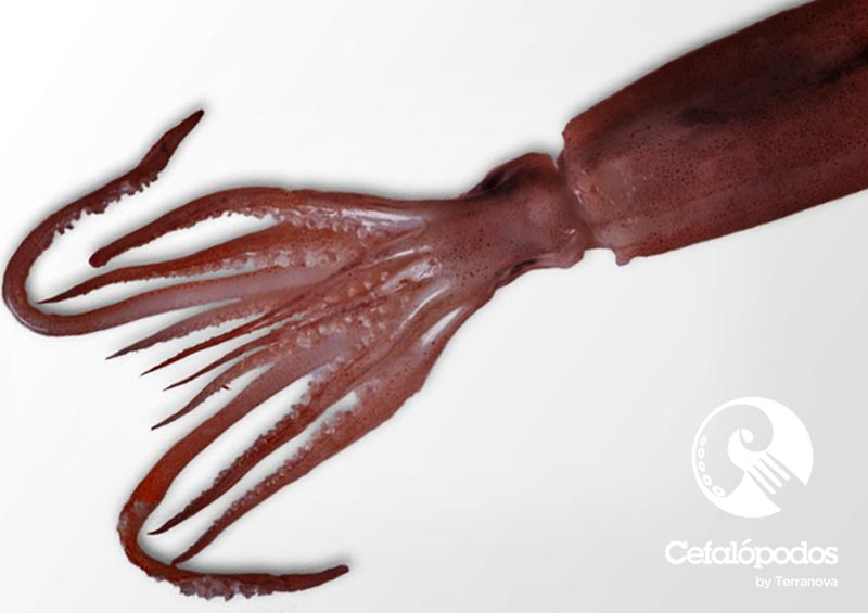 Cefalópodos Terranova
