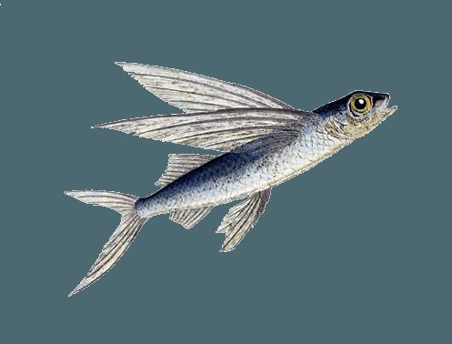 Ilustración de pez volador