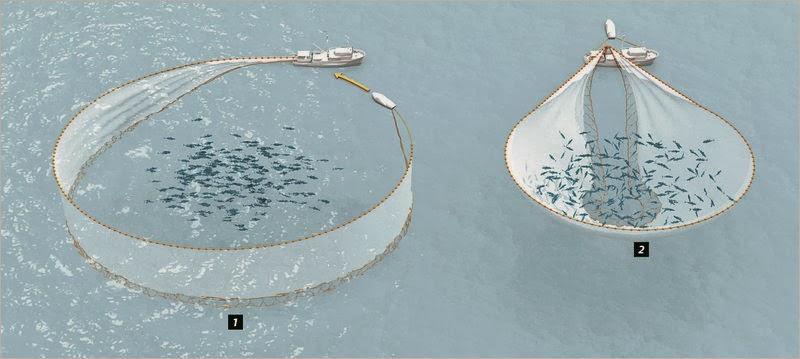 Ilustración de pasos pesca cerco