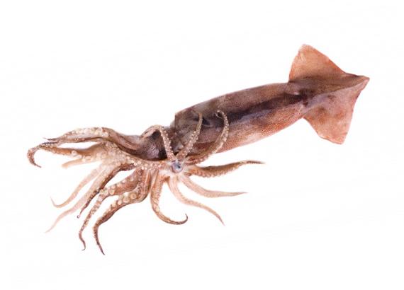 Calamar Sudáfrica